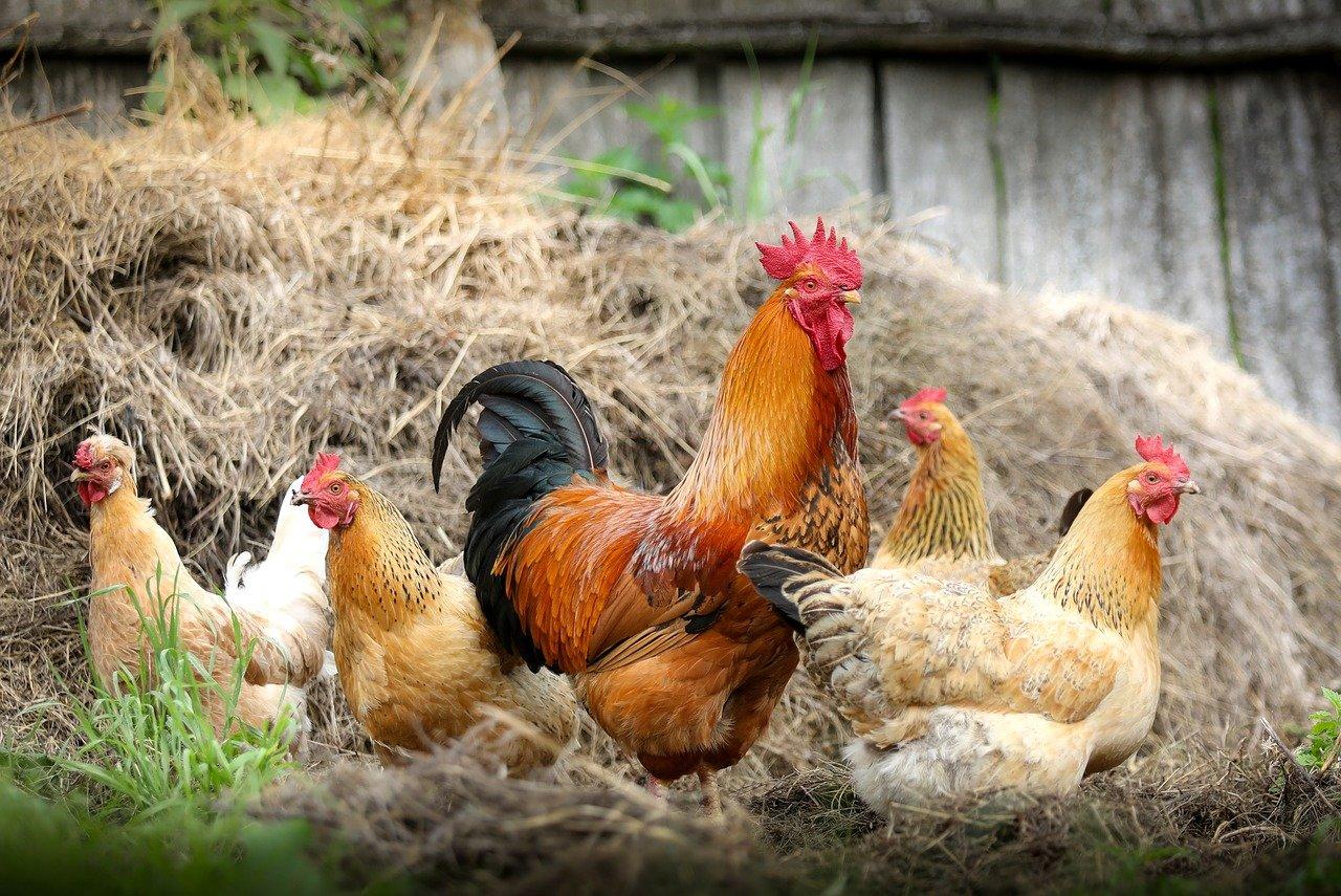 Comment faire un élevage de poules ?